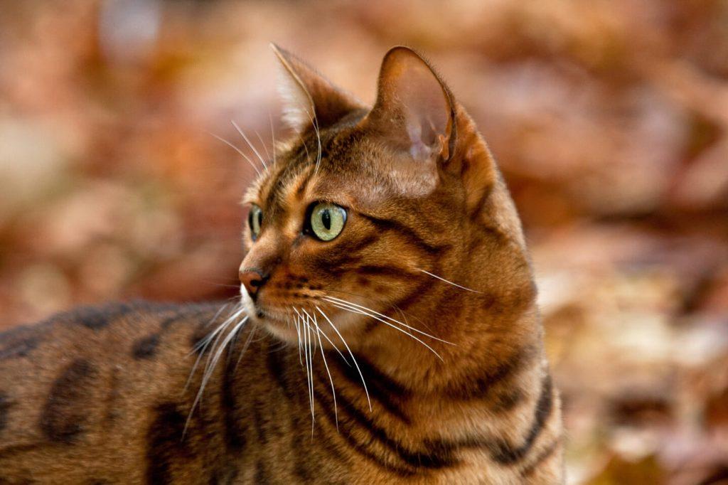 Bengal Cat in Leaves
