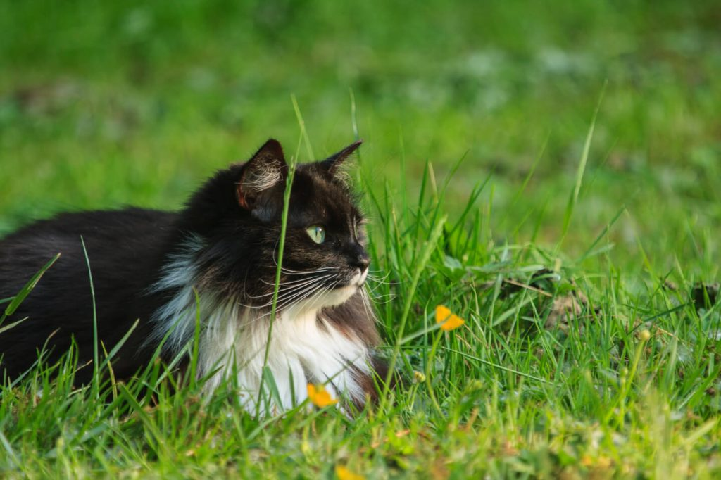 Long haired Cat in Grass